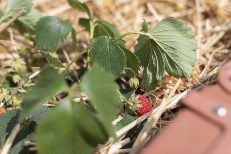 Erdbeeren_VS72